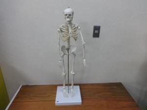 人骨模型1